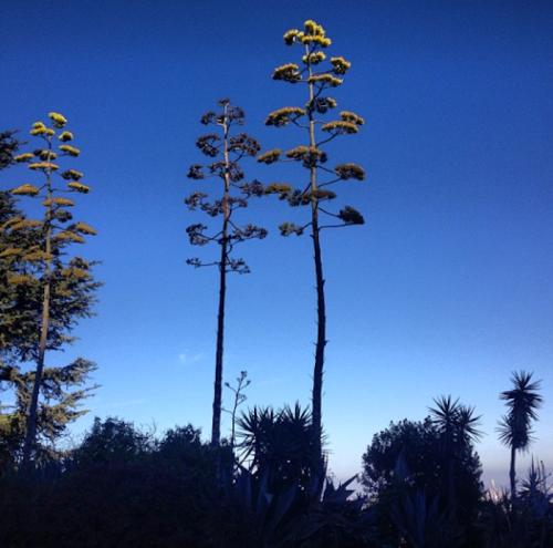 yucca-tree