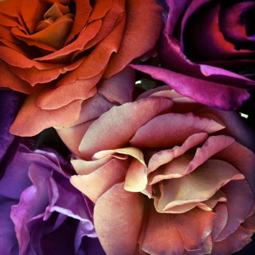bright-roses