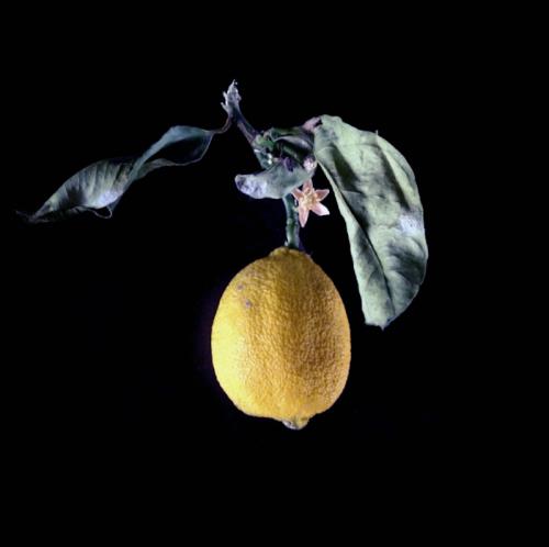 lemon-branch